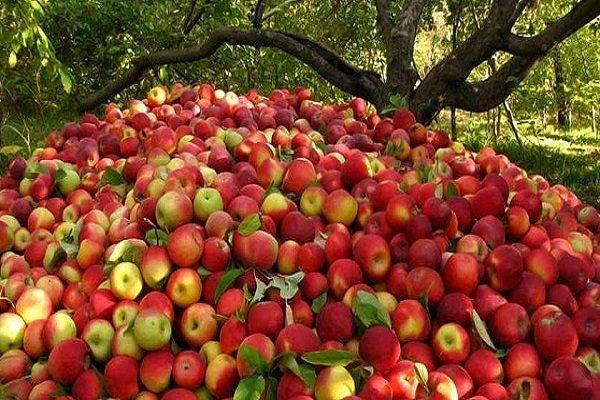 سیب آذربایجان غربی روی دست باغداران ماند/ کاهش شدید صادرات