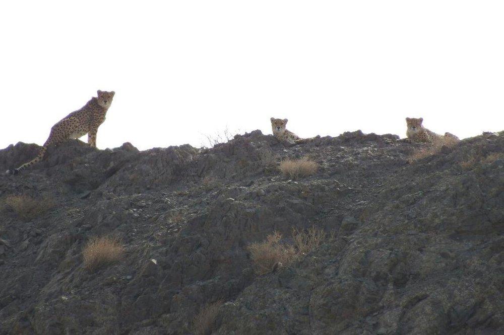تصویر ۳قلاده یوزپلنگ در پارک ملی توران شاهرود ثبت شد