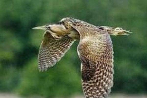 دانشگاه آزاد کرمان رشت یک قطعه «بوتیمار» سرگردان به پارک ملی بوجاق تحویل داده شد ...