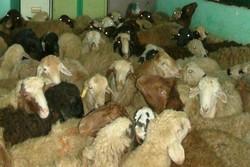 ۷۱ درصد جمعیت دامی ایلام در اختیار عشایر قرار دارد