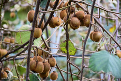 برداشت کیوی از باغات شهرستان آستارا