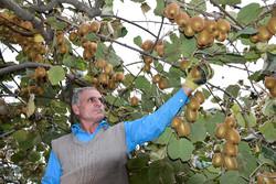 """İran'da """"kivi"""" hasadı başladı"""