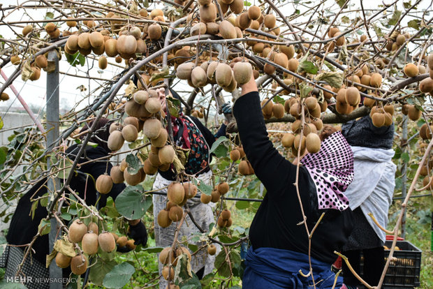 Kiwi fruit harvest in northern Iran