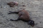 ۱۵راس گوسفند عشایر درمحورگچساران-شیراز در برخورد کامیون تلف شدند