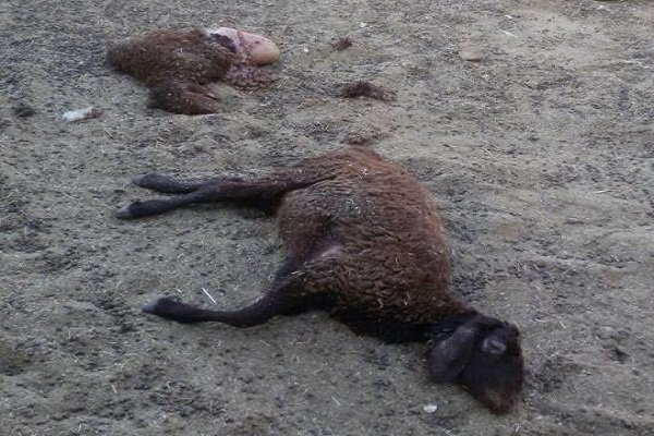 تلف شدن گوسفند