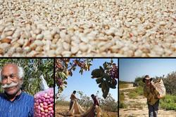 سرنوشت تلخ ارزآورترین محصول کشاورزی؛ باغهای پسته آب میروند