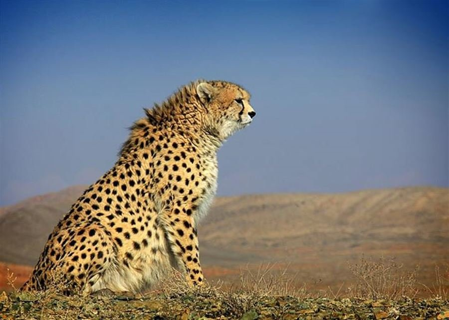 UNDP not to extend Iran's Conservation of Asiatic Cheetah Project