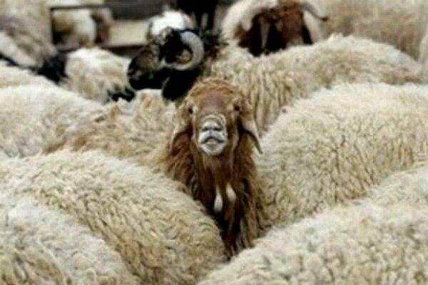 ۱۶ راس گوسفند سرقتی در رامسر کشف شد