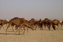 واردات ۱۰۰ نفر شتر شیری از سیستان و بلوچستان به خراسان جنوبی