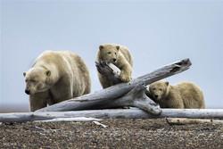 زندگی خرس های قطبی در یکی از روستاهای آلاسکا