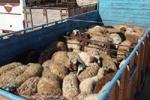 ۸۰ رأس دام قاچاق در شهرستان آستارا کشف و ضبط شد