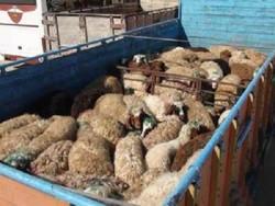 کشف ۱۳۰ راس دام قاچاق در بهار/۵ خرده فروش مواد مخدر دستگیر شدند