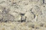 ۴قلاده یوزپلنگ آسیایی در توران شاهرود مشاهده  شد