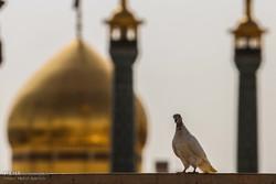 طقوس العزاء في ذكرى إستشهاد ثامن الأئمة بمدينة قم المقدسة / صور