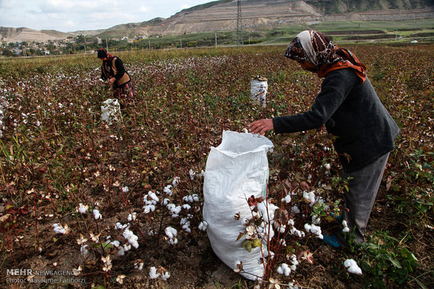 Farmers pick cotton harvest in NW Iran