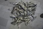 کشف ۱۱۰ قطعه ماهی از متخلفین صید غیرمجاز در الیگودرز