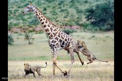 زرافہ پر دو شیروں کا حملہ