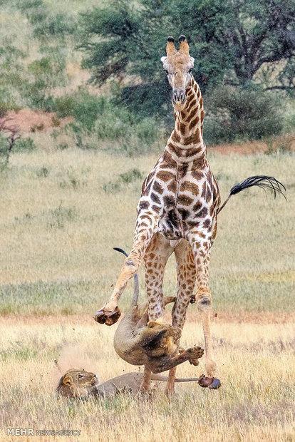 شکار زرافه به دست شیرها