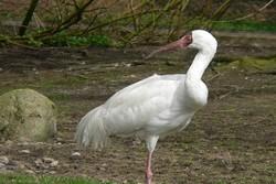 Last western Siberian crane 'Omid' lands in Iran