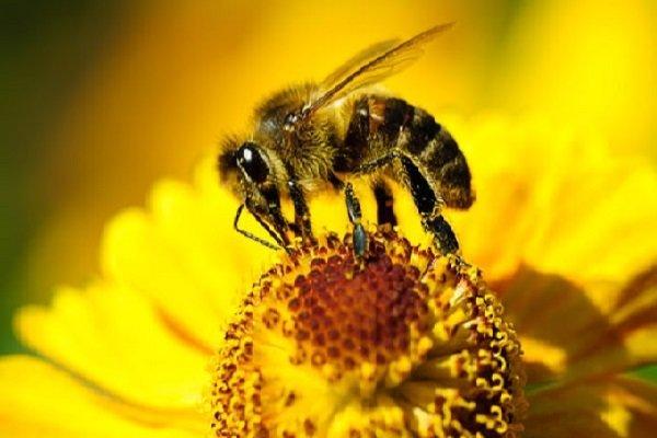 سالانه ۱۰۰۰ تن عسل از آذربایجان غربی به خارج کشور صادر می شود