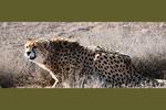 """اطلاق سراح انثى الفهد التي تدعى """"ايران"""" في البرية"""