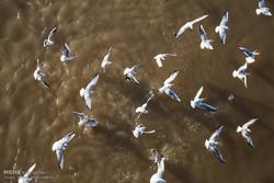 پرندگان آبزی و کنار آبزی و مهاجر تلاب زریوار مریوان سرشماری شدند