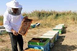 رشد ۱۵ درصدی تولید عسل در زنجان