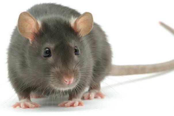 حل مشکل آفت در شهرها با مهندسی ژنتیک موش ها ممکن می شود