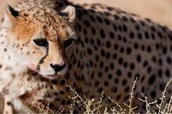 Asiatic cheetah/ Photo by Ali Mohammadi