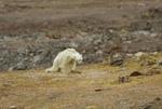 خرس قطبی۱