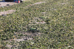 خسارت بی سابقه سرما به ۶ هزار هکتار مزارع صیفی در هشتبندی