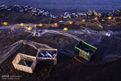۴۵۰۰ تن محصولات شیلاتی مازندران به خارج صادر شد