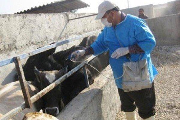 ۳۰۰ هزار راس دام سنگین در آذربایجان غربی واکسینه می شوند