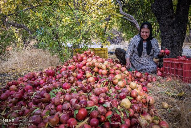 Pomegranate garden in Fars province