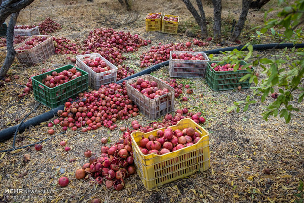Pomegranate garden in Fars province