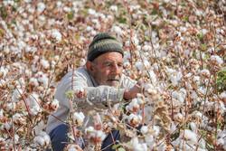 پایان روزهای سیاه طلای سفید/سال ۹۸، آغاز سیر صعودی تولید پنبه در کشور