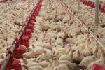 فرآورده گیاهی محرک رشد طیور تولید شد/ تقویت سیستم ایمنی مرغها