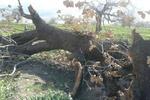 تشکیل کارگروه مهار آفت «برگخوار» بلوط