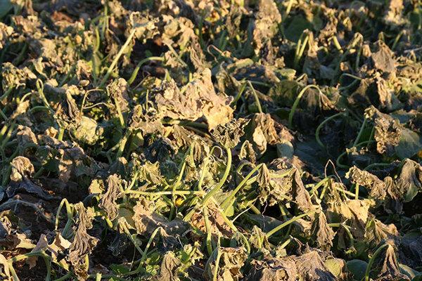 سرمازدگی کشاورزی