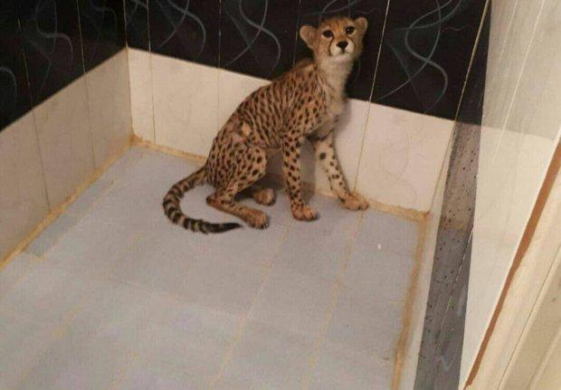 قاچاق یوزپلنگ و حیات وحش در تهران