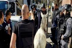 القوات الإسرائيلية تعتقل حمارا في القدس