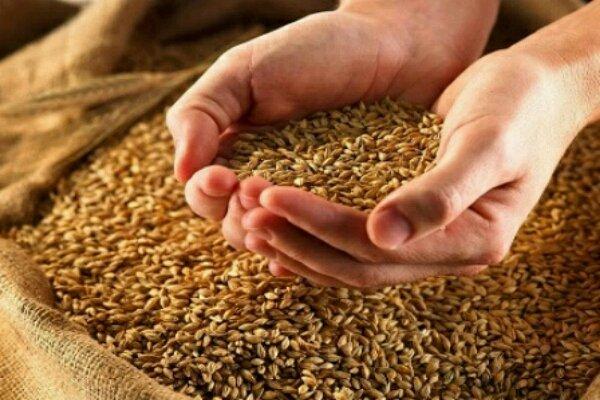 توزیع ۱۵۰۰ تُن بذر اصلاح شده برنج در بین کشاورزان گیلانی آغاز شد