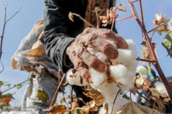 خرید تضمینی ۲۵۲ تن پنبه از کشاورزان خراسانجنوبی