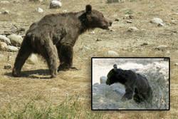 ضعف در امکانات عامل مرگ خرس «ترجنلی»/انتخاب بین وظیفه و احساس