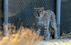 Cheetah cub saved from smugglers cannot return to wild