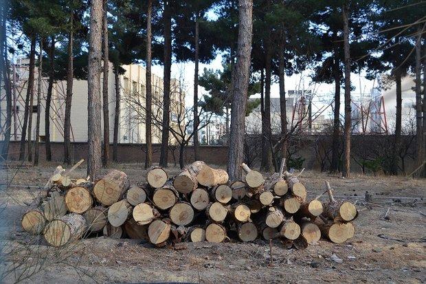 قطع درخت مخابرات شاهرود