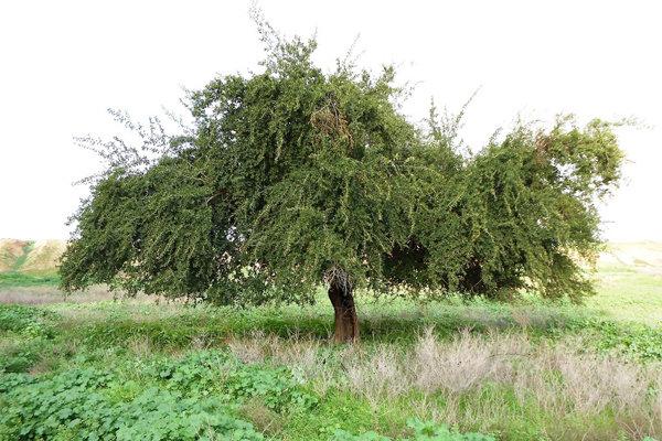 درخت کنار.منابع طبیعی هرمزگان