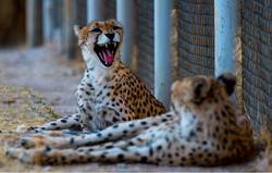 Asiatic cheetahs