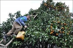 ۳۰هزار هکتار از  باغهای استان بارور هستند