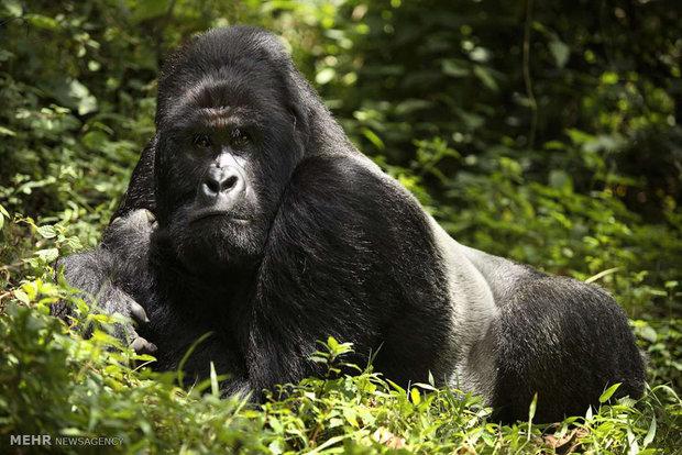 گوریل های کوهی جمهوری کنگو